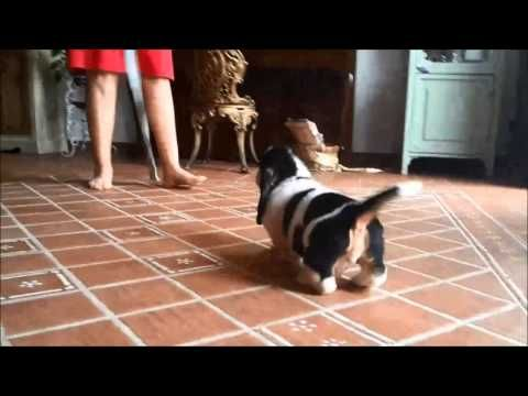 This Basset Puppy's Cuteness Will Make You Go Mental | Canine Distractions