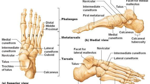 Left Foot Ankle Bone Anatomy Bone Anatomy Of Foot – Anatomy Chart ...
