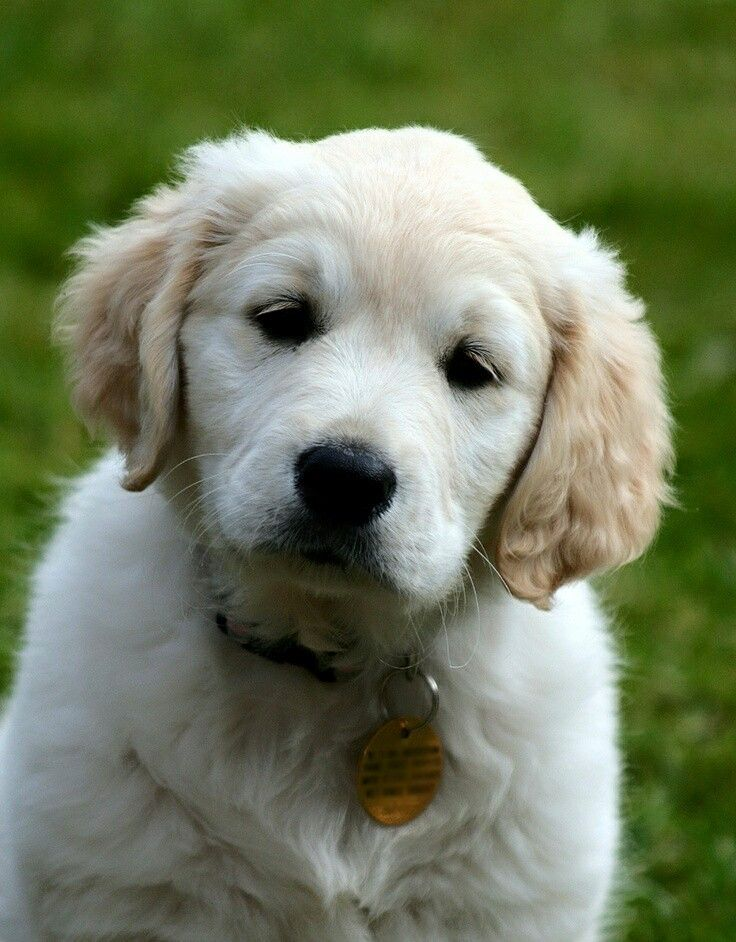 Pin On Goldendoodle Puppies For Sale In Sc