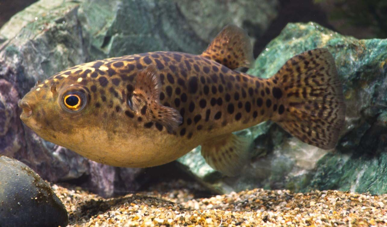 Adult tetraodon nigroviridis green spotted puffer for Puffer fish price