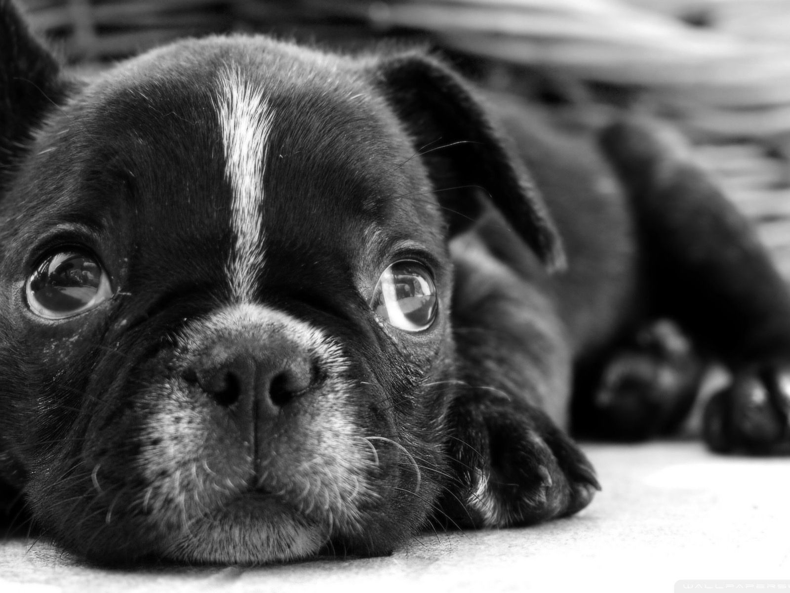 Black French Bulldog With Images Bulldog Puppies French