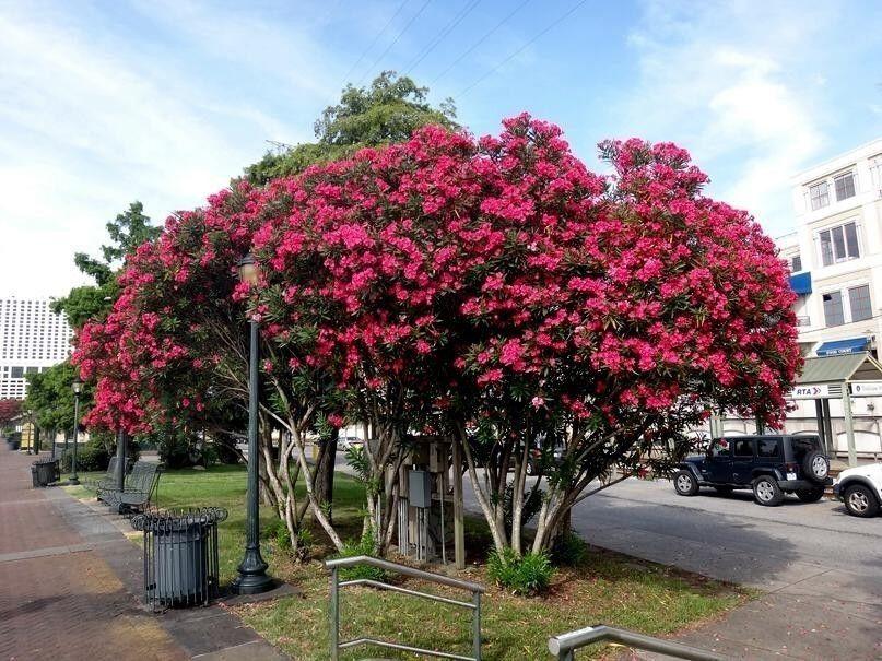 1 55 graines de laurier rose nerium oleander 10 graines par sachet le laurier rose est un - Ou planter un laurier rose ...