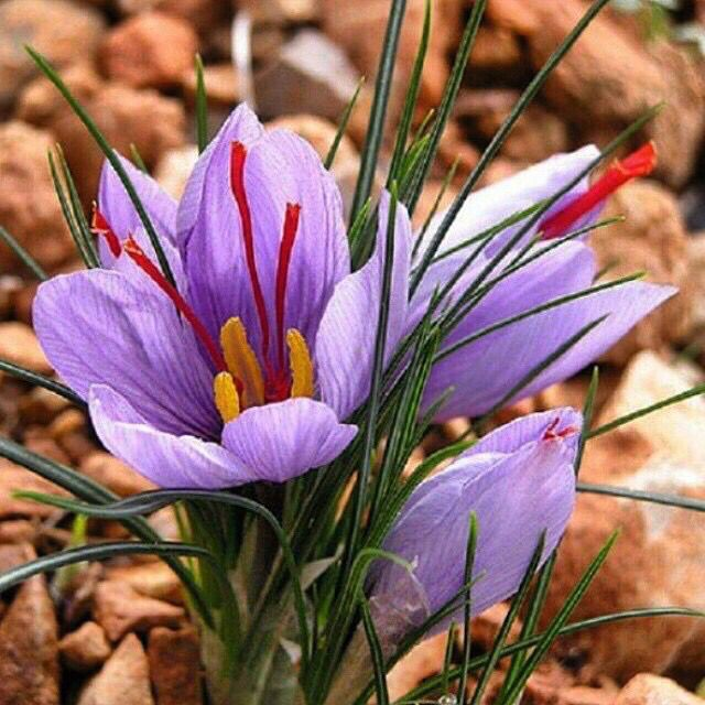 Zafran Flower Crocus Bulbs Crocus Perennials