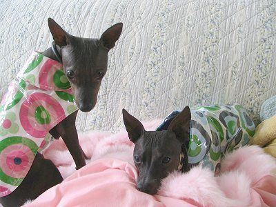 The American Hairless Terrier S American Ancestry Begins With The Mixed Breed Terriers Known As Feists Brought From Europe To The North America As Early Because