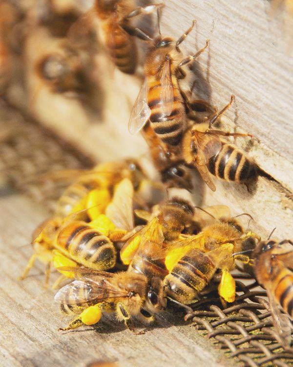 Honeybees in 2020 | Backyard bee, Bee keeping, Bee