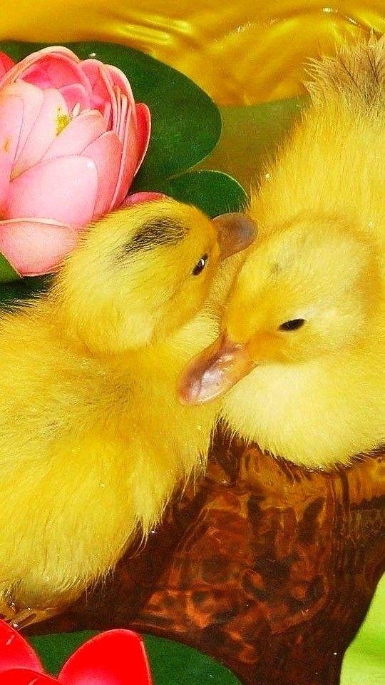 Pin by kayton barrows on duckies