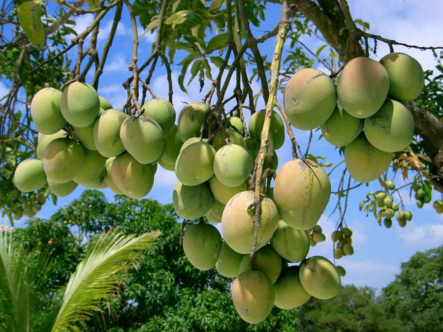 Mango Farms In South Florida – Wonderful Image Gallery