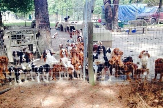 Volunteers Save Dogs From Breeding Farm Cavalier Rescue Rescue