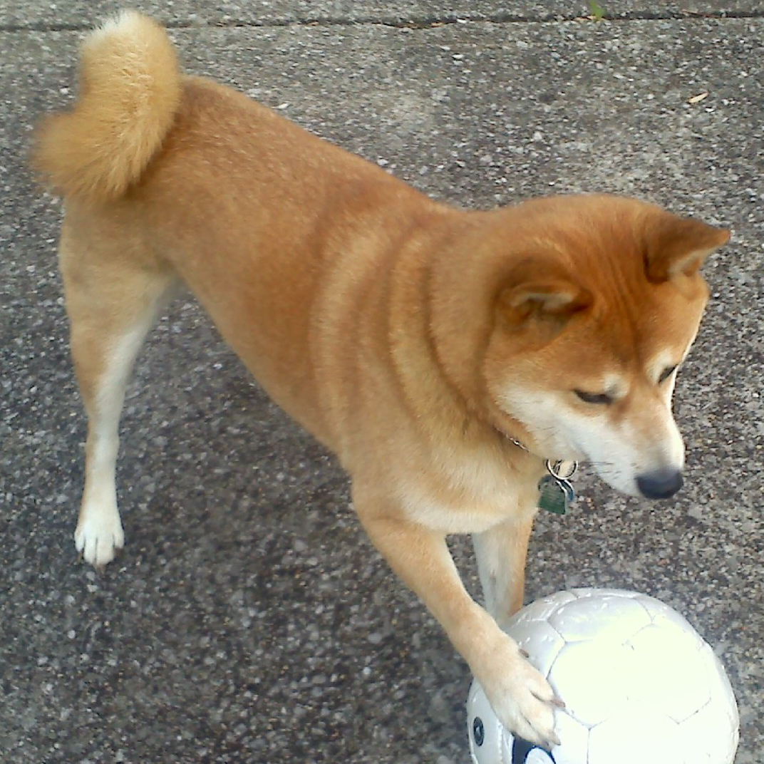 Lost Dog Shiba Inu Cleveland, OH, United States 44102
