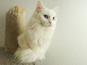 Precious is an adoptable Domestic Long Hair-White Cat in Nampa, ID.  ...she is deaf