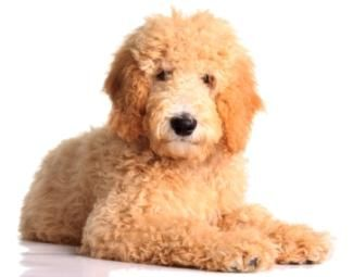Golden Retriever Poodle Mix Information On Goldendoodles With