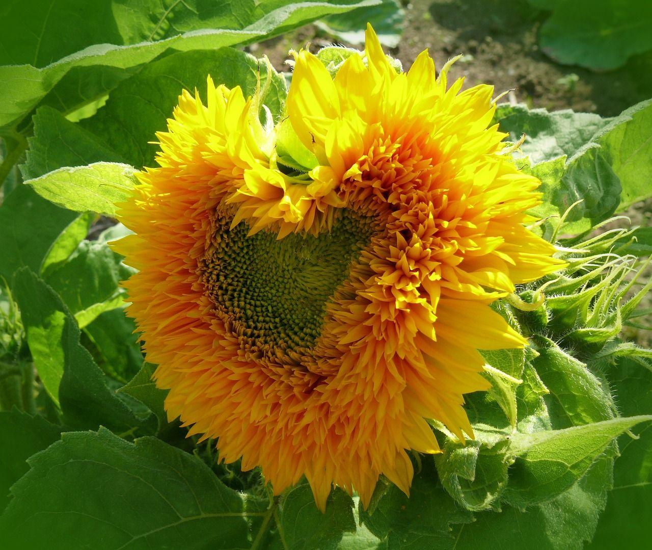Gratis Obraz Na Pixabay Slonecznik Serce Sloneczny Kwiat Heart Shapes Heart In Nature Sunflower