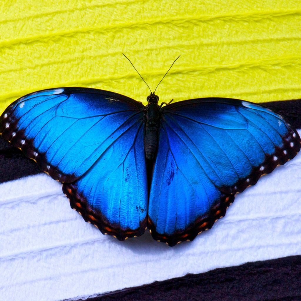 Pin by Morris Fowler on Butterflies | Wallpaper ...