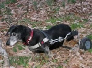 Choppy Va Is An Adoptable Dachshund Dog In Manassas Va Color