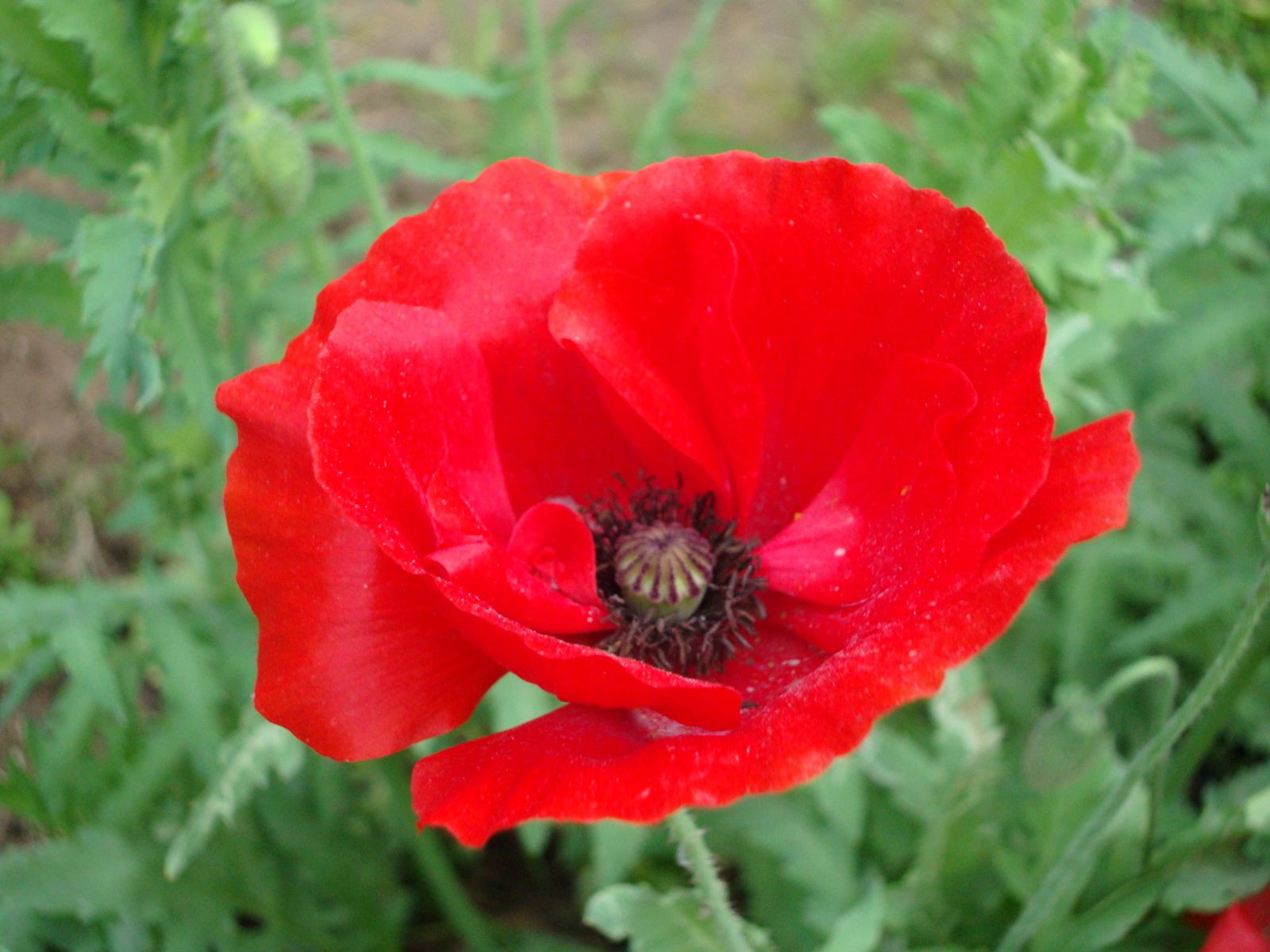 Red poppy poppy flowers and flowers flowers dhlflorist Images