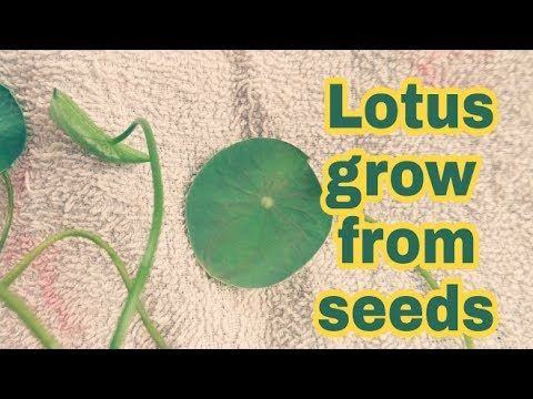 How to grow lotus from seed at home in hindi full information how to grow lotus from seed at home in hindi full information youtube mightylinksfo