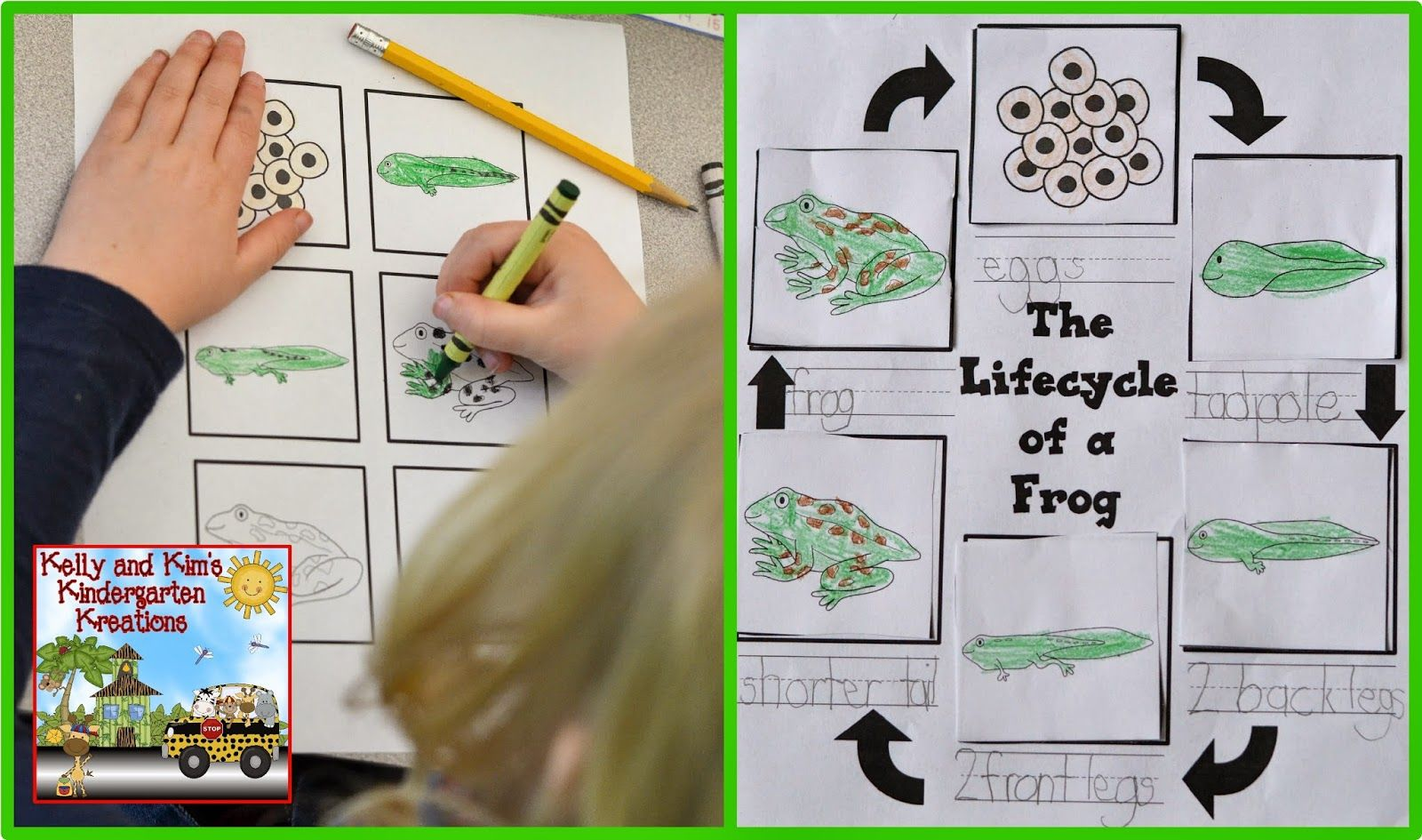 Lifecycle Of A Frog Worksheet