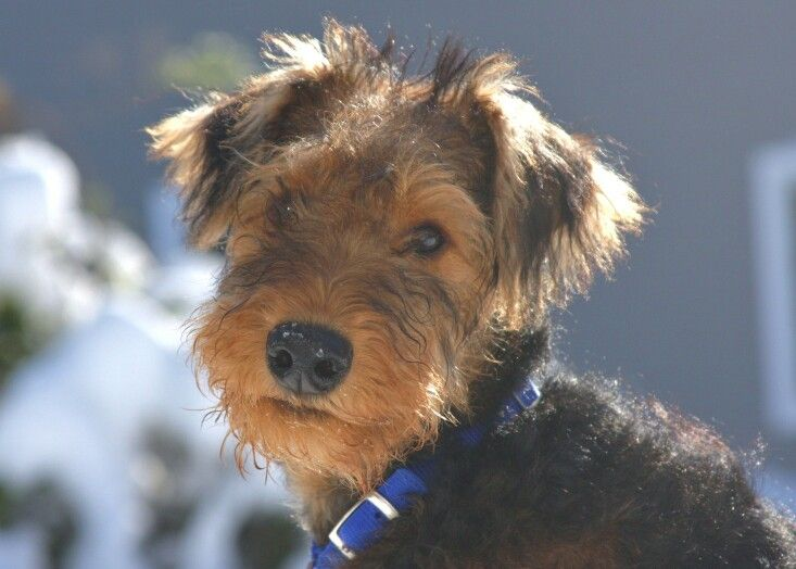Airedale puppies are the cutest #Airedales