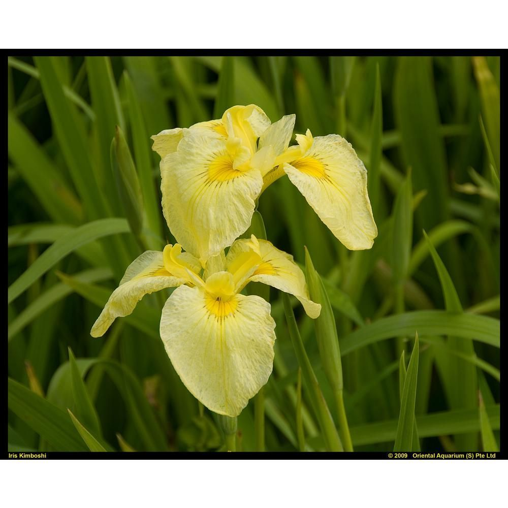 Premium Series Pond Marginal Iris Louisiana Kimboshi Kit