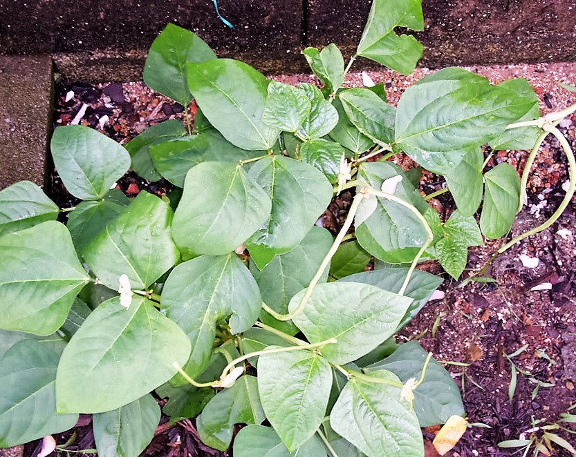 Taylor Dwarf Horticultural Phaseolus Vulgaris Can Also Display A Semi Runner Habit With Vines 14 To 18 Inches Long Horticulture Vegetable Seed Plant Leaves