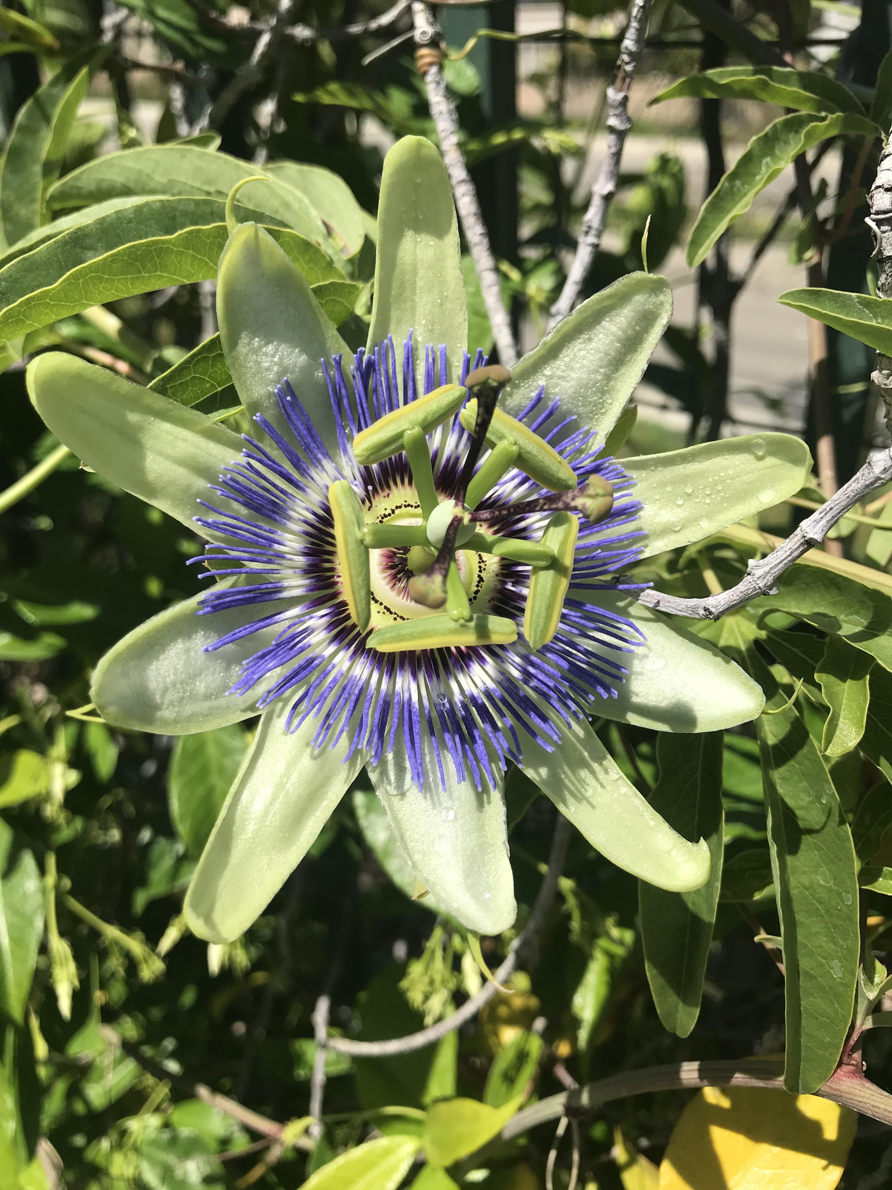 I Believe This Is A Passion Flower It And A Bunch Of Others Were Growing On A Vine In My Backyard We Didnt Plant Them In 2020 Plants Passion Flower Vines