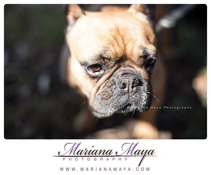 French Bulldog Pet Photography French Bulldog Pets Cute Animals