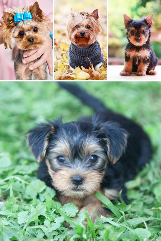 Terrier Puppies Yorkshire Terriers In 2020 Yorkshire Terrier Dog Puppy Dog Pictures Yorkshire Terrier Puppies