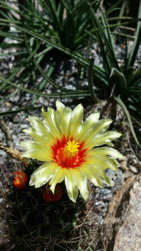 Flor de Cactus - Jardim  Botânico - Rio de Janeiro- Foto: Marília Vidigal Carneiro