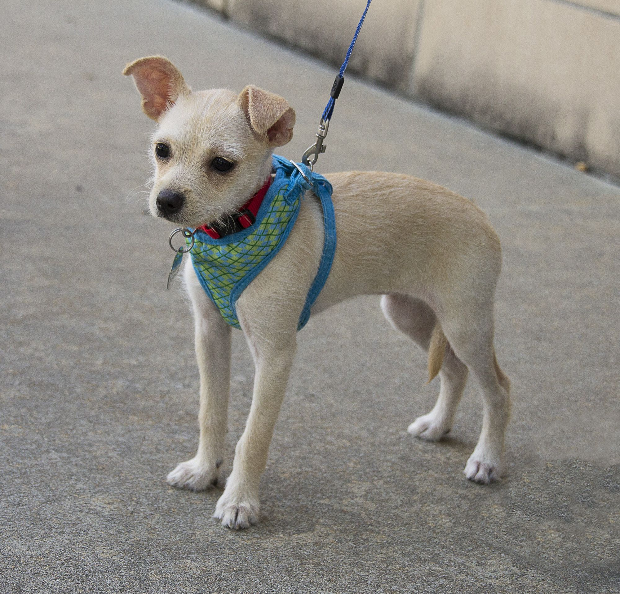 Jack Chi dog for Adoption in Houston, TX. ADN555629 on