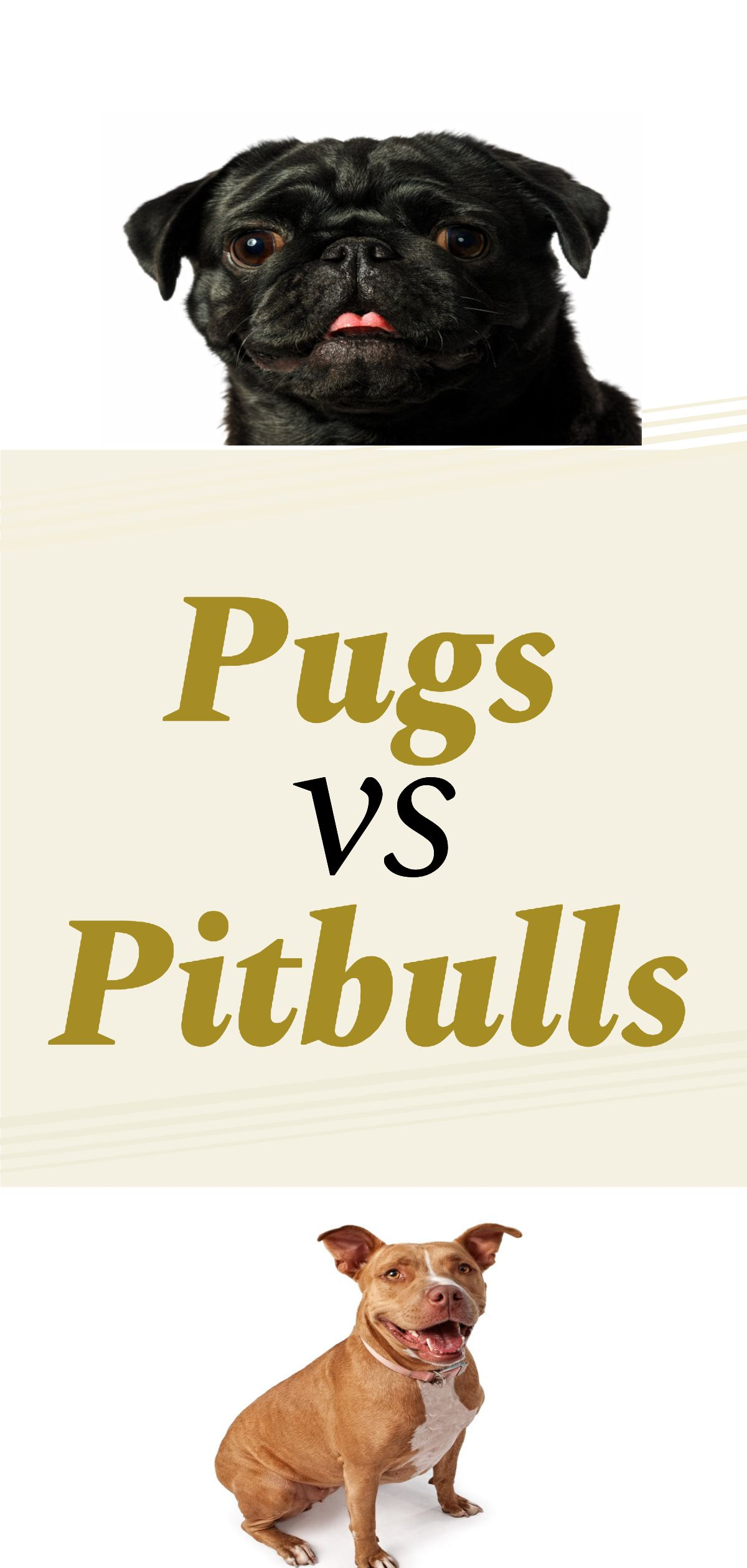 Pug Pitbull Mix Everything You Need To Know About A Half Pug And