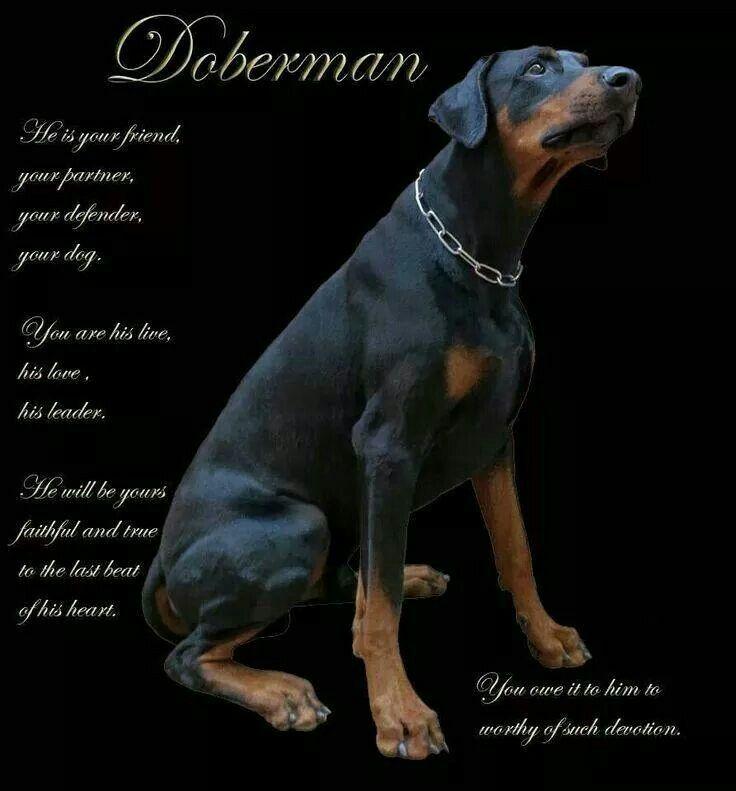 Doberman Doberman Doberman Pinscher Blue Doberman Pinscher Dog