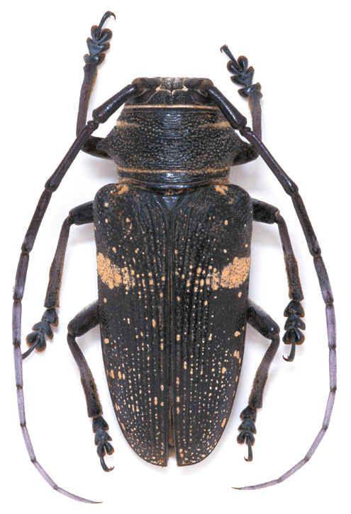 Zographus aulicus.