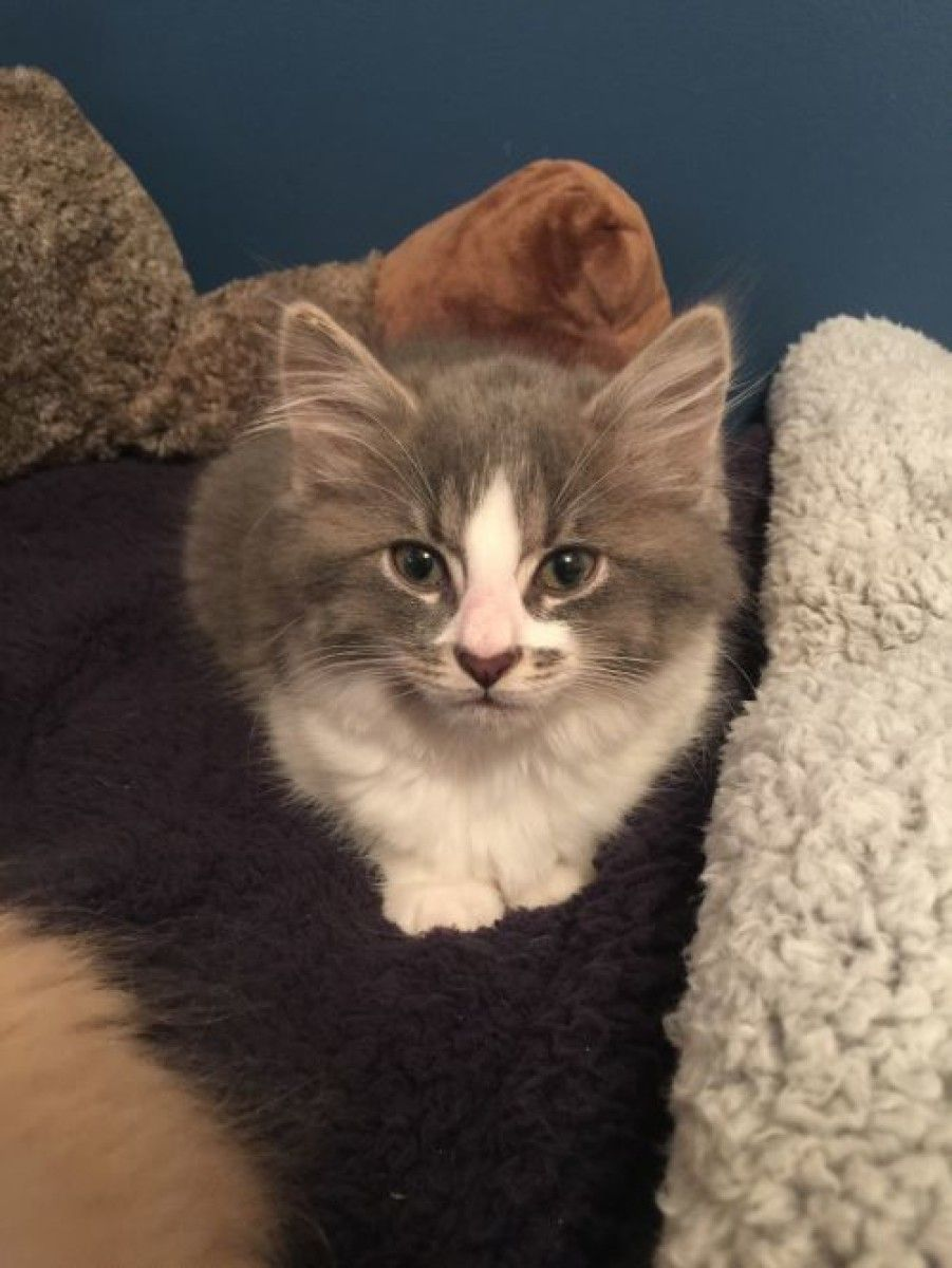 Pin On Maine Coons For Adoption