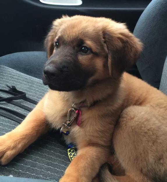 My Rescue Dog German Shepherd Retriever Mix Golden Retriever Australian Shepherd Mix Retriever Mix Golden Retriever