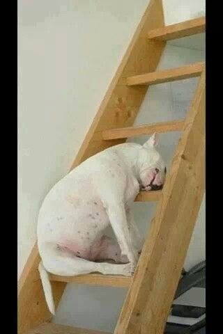funny #Bullie - sleeping))) #English #Bull #Terrier #Dog #FunnyPhoto #FunnyDog #Dogs #Bullie
