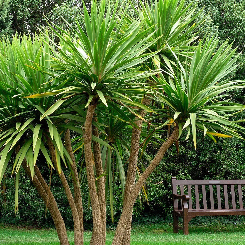 Cordyline australis cabbage palm tree