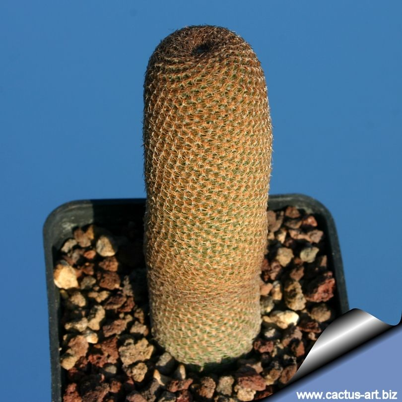 Lobivia famatimensis v. bonniae FK96 (Kuhas) (Fiambala, Rioja, Arg)
