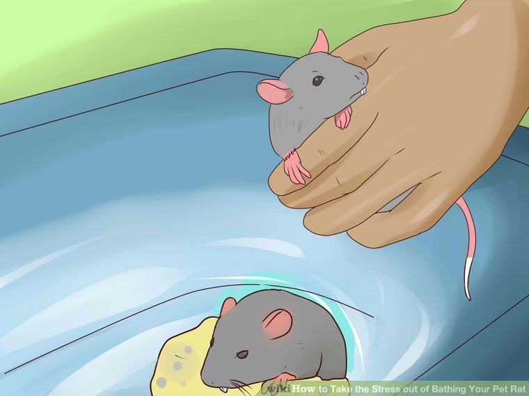 Take The Stress Out Of Bathing Your Pet Rat Pet Rats Pet Mice