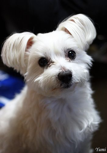 Maltese Dog Leo   Flickr - Photo Sharing!