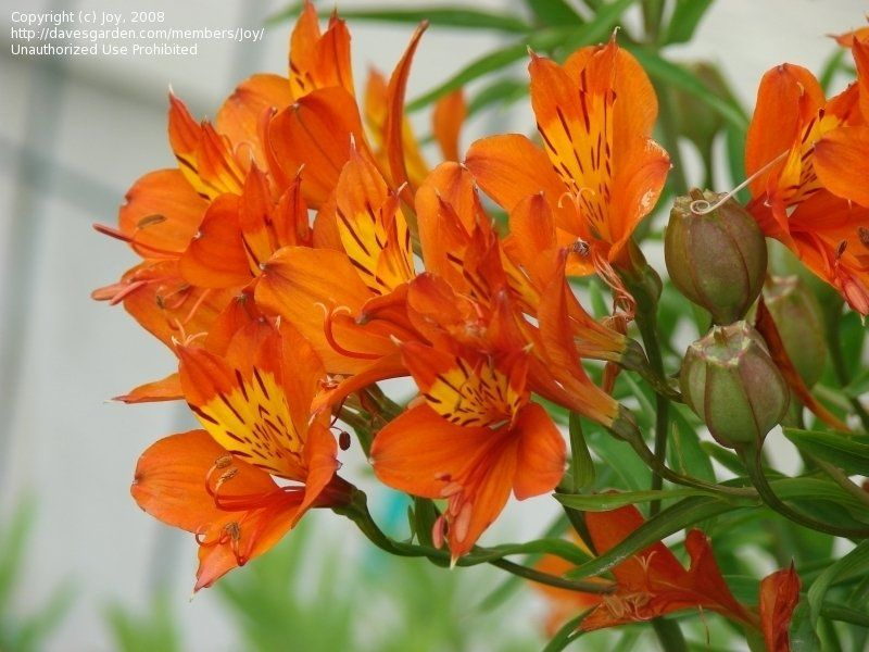 Plantfiles Pictures Alstroemeria Golden Lily Of The Incas Peruvian Lily Orange King Alstroemeria Aurea By Joy Alstroemeria Peruvian Lilies Lawn Edging
