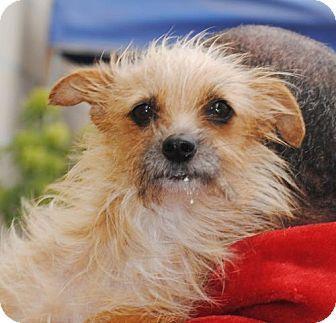 Long Beach, CA Yorkie, Yorkshire Terrier/Norwich Terrier