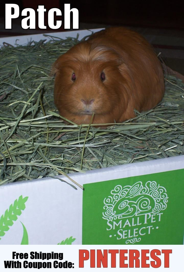 patch is one of our cute guinea pig customers http