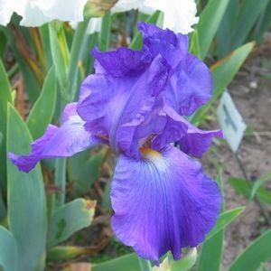 Stoney Creek Iris Iris Most Beautiful Flowers Fragrant Flowers