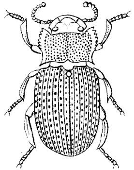Female Beetle Coloring Pages