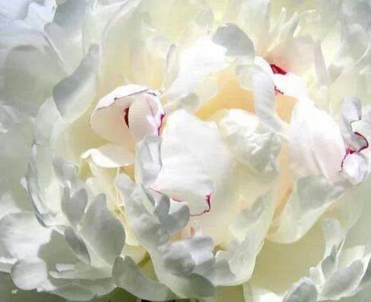 Witte pioenroos