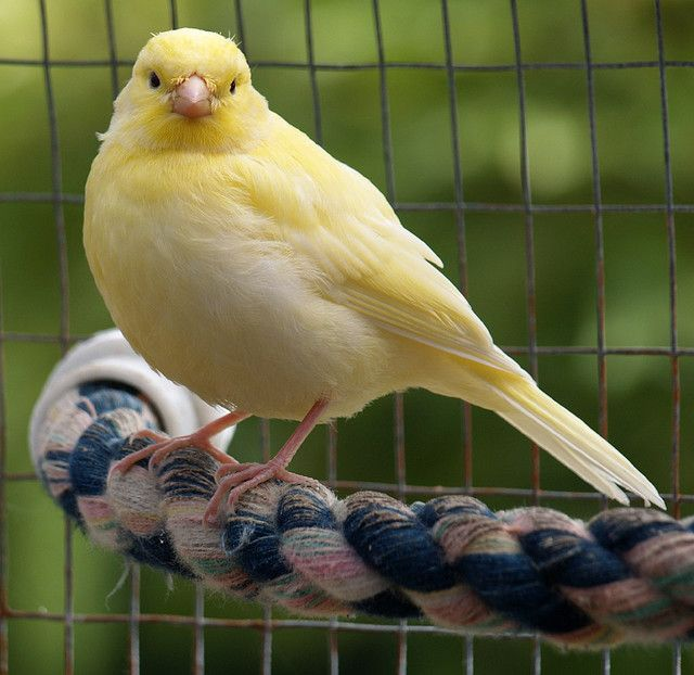 Yellow Canary With Images Canary Birds Canary Pet Birds