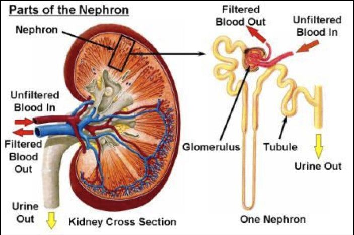 The Kidneys Are Vital Organs Which Perform Important Functions In