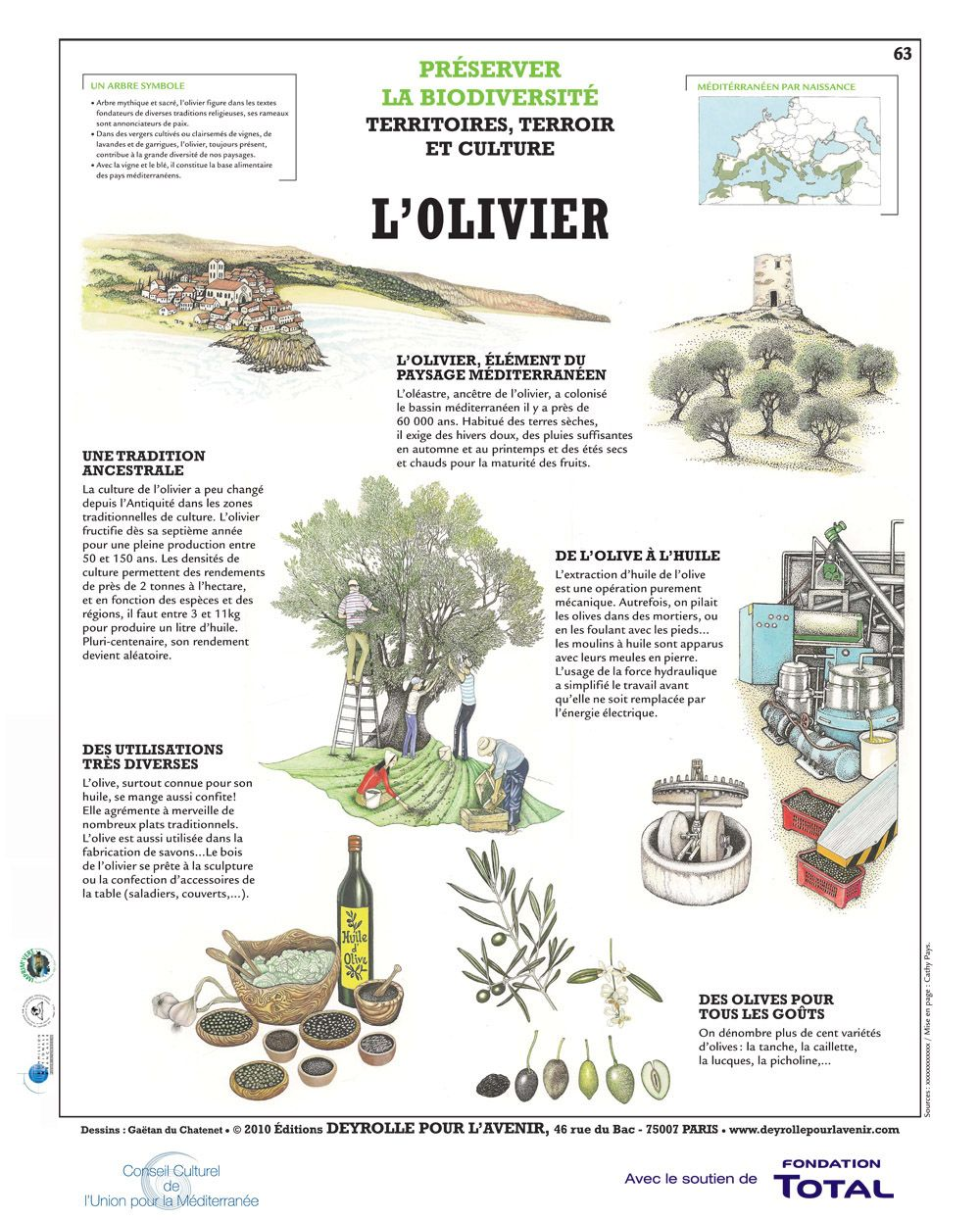 Il Cultive L Olivier all about the olive tree | olive tree, olive, ground cover