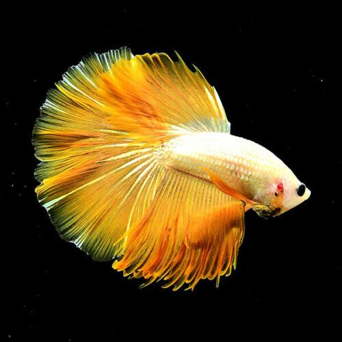 Live Betta Fish Sale Promotion Super Yellow Beige Ju35 Male From Thailand Ebay Betta Fish Betta Betta Fish Tank