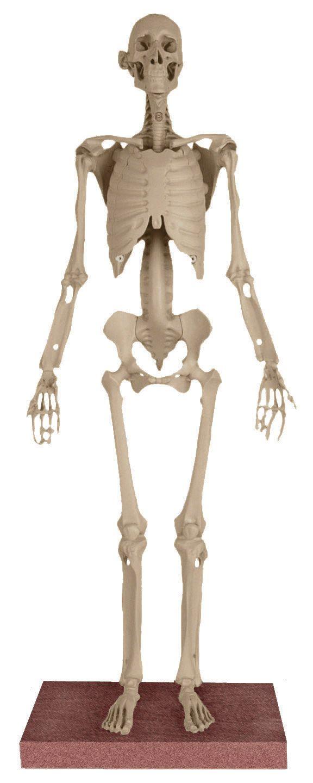 EQUIKEN® Classic Horse Skeleton Model | Maniken® Human Skeleton ...